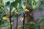 Red-legged Honeycreeper (Cyanerpes cyaneus) [male] [costa_rica_la_selva_0108]
