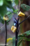 Red-legged Honeycreeper (Cyanerpes cyaneus) [male] [costa_rica_la_selva_0115]
