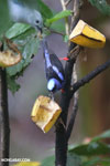 Red-legged Honeycreeper (Cyanerpes cyaneus) [male] [costa_rica_la_selva_0117]