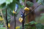Red-legged Honeycreeper (Cyanerpes cyaneus) [male] [costa_rica_la_selva_0118]
