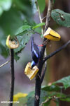 Red-legged Honeycreeper (Cyanerpes cyaneus) [male] [costa_rica_la_selva_0120]
