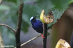Red-legged Honeycreeper (Cyanerpes cyaneus) [male] [costa_rica_la_selva_0124]