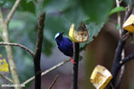 Red-legged Honeycreeper (Cyanerpes cyaneus) [male] [costa_rica_la_selva_0125]