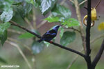 Red-legged Honeycreeper (Cyanerpes cyaneus) [male] [costa_rica_la_selva_0128]