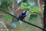 Red-legged Honeycreeper (Cyanerpes cyaneus) [male] [costa_rica_la_selva_0129]