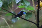 Red-legged Honeycreeper (Cyanerpes cyaneus) [male] [costa_rica_la_selva_0130]