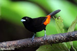 Cherrie's Tanager (Ramphocelus costaricensis) [costa_rica_la_selva_0137]