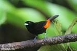 Cherrie's Tanager (Ramphocelus costaricensis) [costa_rica_la_selva_0138]