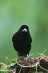 Cherrie's Tanager (Ramphocelus costaricensis) [costa_rica_la_selva_0144]