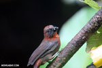 Bird [costa_rica_la_selva_0148]