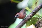 Bird [costa_rica_la_selva_0151]
