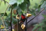 Crimson-collared Tanager (Phlogothraupis sanguinolenta) [costa_rica_la_selva_0160]