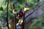 Crimson-collared Tanager (Phlogothraupis sanguinolenta) [costa_rica_la_selva_0161]