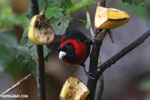 Crimson-collared Tanager (Phlogothraupis sanguinolenta) [costa_rica_la_selva_0162]