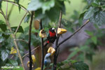 Crimson-collared Tanager (Phlogothraupis sanguinolenta) [costa_rica_la_selva_0164]