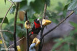 Crimson-collared Tanager (Phlogothraupis sanguinolenta) [costa_rica_la_selva_0165]