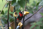Crimson-collared Tanager (Phlogothraupis sanguinolenta) [costa_rica_la_selva_0166]
