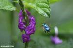 Green-blue bee [costa_rica_la_selva_0168]