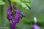 Green-blue bee [costa_rica_la_selva_0170]