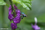 Green-blue bee [costa_rica_la_selva_0171]