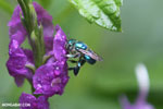 Green-blue bee