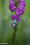 Green-blue bee [costa_rica_la_selva_0175]