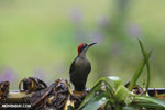 Black-cheeked Woodpecker (Melanerpes pucherani) [costa_rica_la_selva_0190]