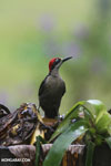 Black-cheeked Woodpecker (Melanerpes pucherani) [costa_rica_la_selva_0191]