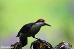 Black-cheeked Woodpecker (Melanerpes pucherani) [costa_rica_la_selva_0192]