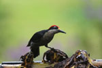 Black-cheeked Woodpecker (Melanerpes pucherani) [costa_rica_la_selva_0193]