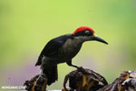 Black-cheeked Woodpecker (Melanerpes pucherani) [costa_rica_la_selva_0194]