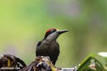 Black-cheeked Woodpecker (Melanerpes pucherani) [costa_rica_la_selva_0196]