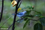 Blue-grey Tanager (Thraupis episcopus) [costa_rica_la_selva_0204]
