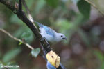 Blue-grey Tanager (Thraupis episcopus) [costa_rica_la_selva_0207]
