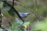 Blue-grey Tanager (Thraupis episcopus) [costa_rica_la_selva_0208]