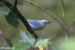 Blue-grey Tanager (Thraupis episcopus) [costa_rica_la_selva_0209]
