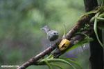 Plain-colored Tanager (Tangara inornata) [costa_rica_la_selva_0210]