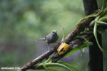 Plain-colored Tanager (Tangara inornata) [costa_rica_la_selva_0211]