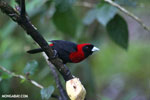 Crimson-collared Tanager (Phlogothraupis sanguinolenta) [costa_rica_la_selva_0217]