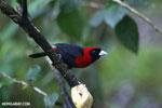 Crimson-collared Tanager (Phlogothraupis sanguinolenta) [costa_rica_la_selva_0217]
