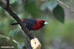 Crimson-collared Tanager (Phlogothraupis sanguinolenta) [costa_rica_la_selva_0218]