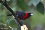 Crimson-collared Tanager (Phlogothraupis sanguinolenta) [costa_rica_la_selva_0219]
