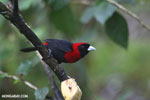 Crimson-collared Tanager (Phlogothraupis sanguinolenta) [costa_rica_la_selva_0220]