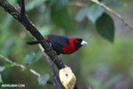Crimson-collared Tanager (Phlogothraupis sanguinolenta) [costa_rica_la_selva_0222]