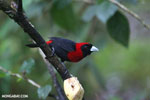 Crimson-collared Tanager (Phlogothraupis sanguinolenta) [costa_rica_la_selva_0223]