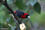 Crimson-collared Tanager (Phlogothraupis sanguinolenta) [costa_rica_la_selva_0224]