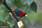 Crimson-collared Tanager (Phlogothraupis sanguinolenta) [costa_rica_la_selva_0226]