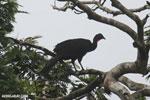 Crested Guan (Penelope purpurascens) [costa_rica_la_selva_0227]