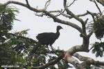 Crested Guan (Penelope purpurascens) [costa_rica_la_selva_0228]