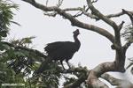 Crested Guan (Penelope purpurascens) [costa_rica_la_selva_0229]